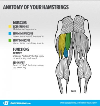Anatomi Hamstring
